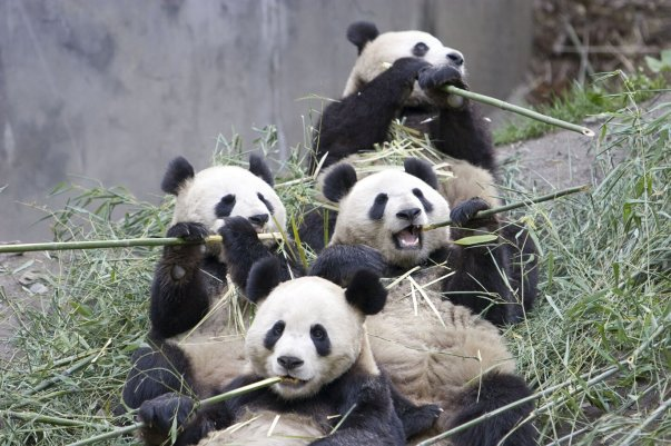 panda-group-eating-bamboo-endangered-beautiful-animals-of-china-singapore-philipines-thaiiland-and-cambodia