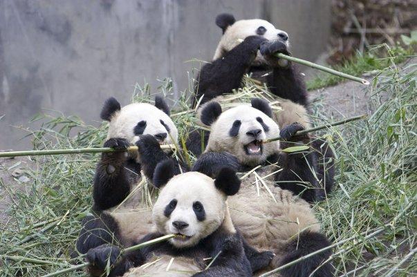 panda-group-eating-bamboo-endangered-beautiful-animals-of-china-singapore-philipines-thaiiland-and-cambodia